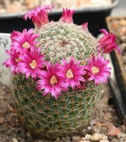, Mammillaria