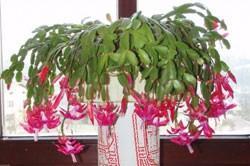 , Božićni kaktus